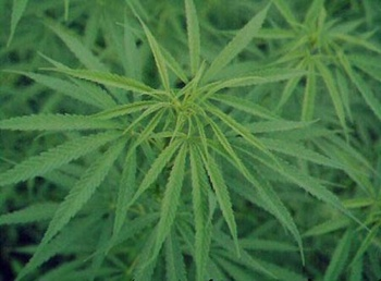 Cannabis-Sativa