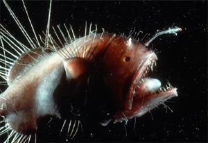 Anglerfish