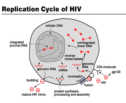 Human immune system can control re-awakened HIV, suggesting cure is possible