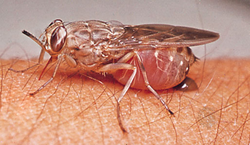 an introduction to the sleeping sickness a disease that originated in africa with the tsetse fly The royal society in london sent a sleeping sickness commission to east africa cattle trypanosomiasis (nagana) and tsetse the introduction of an.