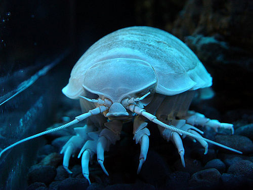 Isopod Top Unusual Deep Sea Creatures Listverse