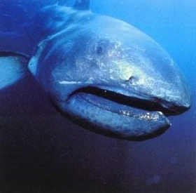 Mega Mouth Shark