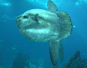 Ocean Sunfish