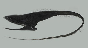 Pelican Eel