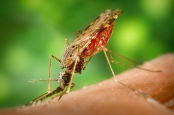 Anopheles Albimanus Mosquito