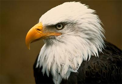 Bald-Eagle-Head