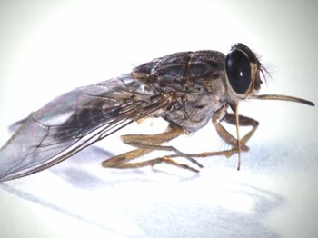 Tsetse-Fly