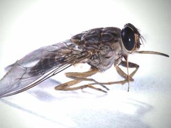 Tsetse-Fly