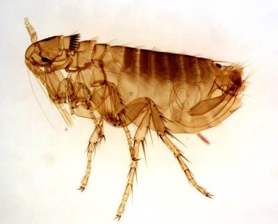 Flea-1