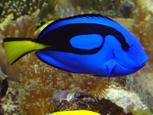 Saltwater fish and their names for Blue saltwater fish