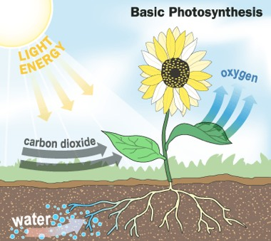Irrigation-Photosynthesis