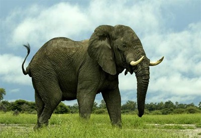 African-Elephant2