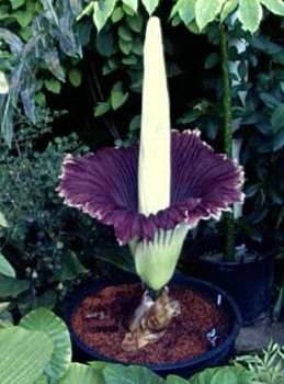 Amorphophallus Titanum.Jpg