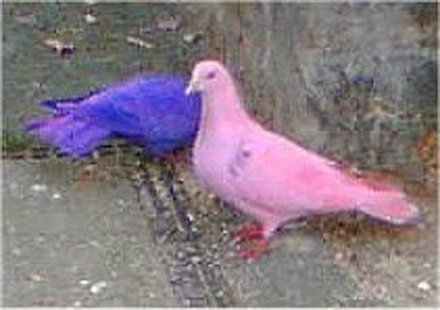 Faringdon Dyed Pigeons.Jpg
