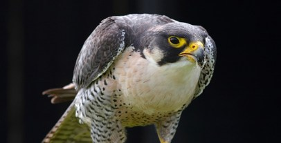 Peregrine_Falcon_Feeding_by_runique-1