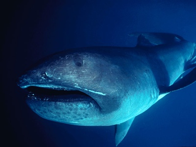 Megamouth Shark 2