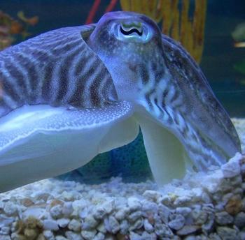 609Px-Cuttlefishhead