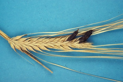 Barley Ergot