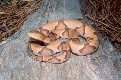 Copperhead Big