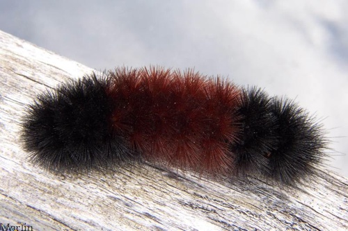 Woolly Bear Tiger Moth Larva