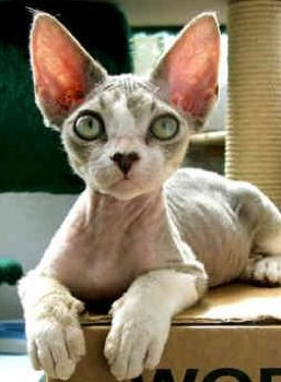 Devon-Rex-2