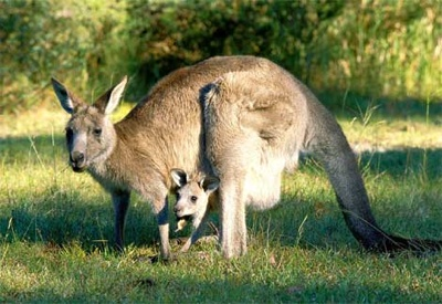 Gray-Kangaroo