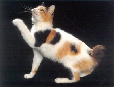 Japanese-Bobtail2