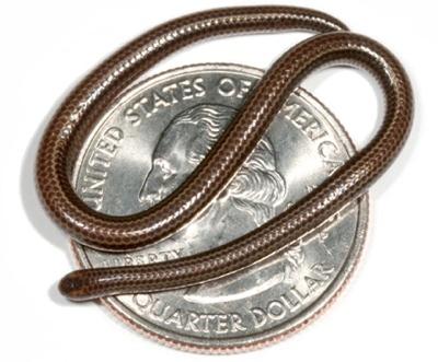 080803-Smallest-Snake 461