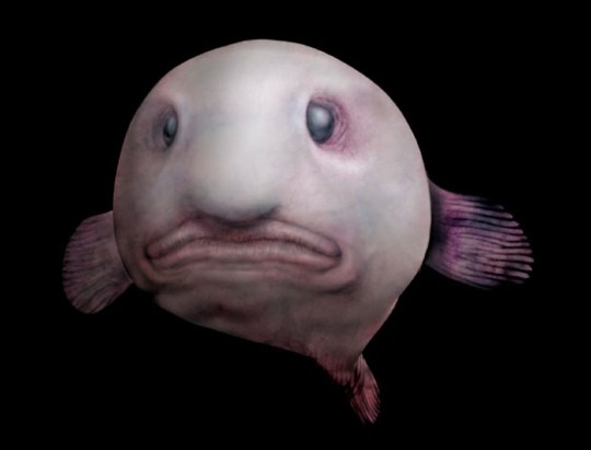 Blobfish2