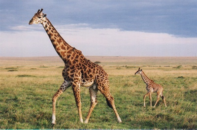 Giraffetwo