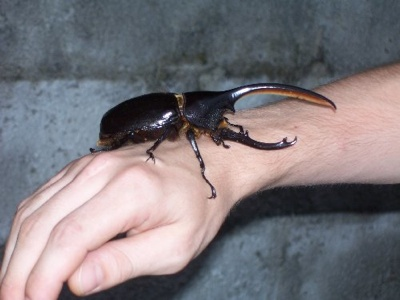 135041-Rhinoceros-Beetle-La-Fortuna-Costa-Rica