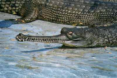 Gharial01Tfk