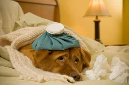 Istock 000004781555Xsmall Sick Dog