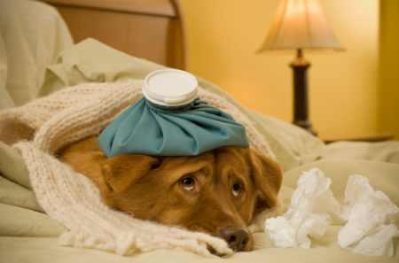 Istock 000004781555Xsmall Sick Dog