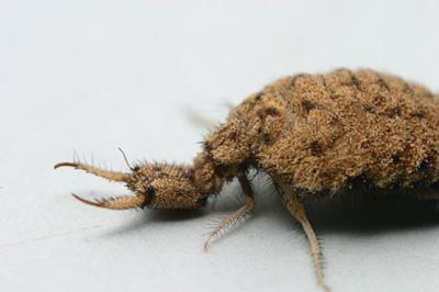antlion