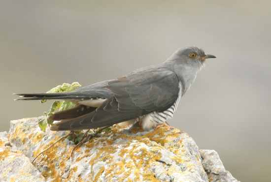 Cuckoo John Carey2