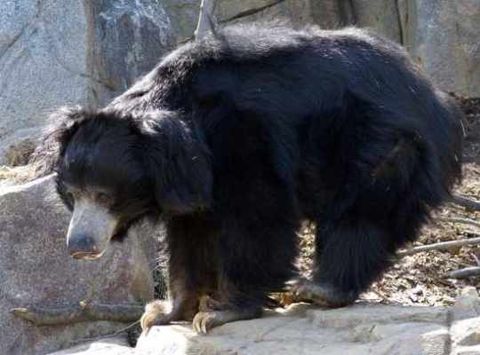 Sloth Bear