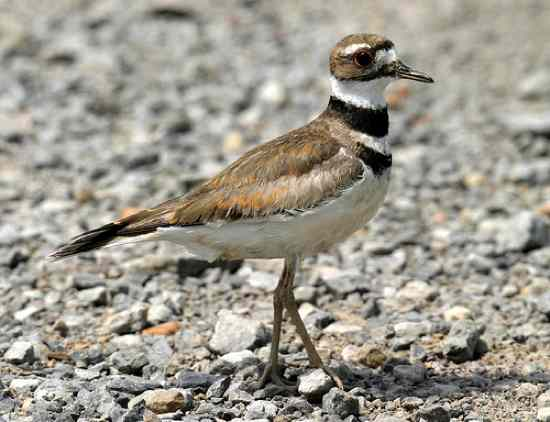 Killdeer-Adult-1
