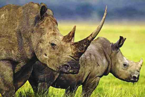 Rhinoceros Whire Rhino And Baby