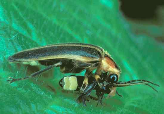 070926 Photuris Firefly 02