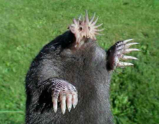 Star-Nosed-Mole