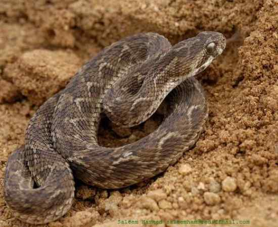Top 10 Most Venomous Snakes - Listverse