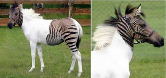 A411 Zebroid