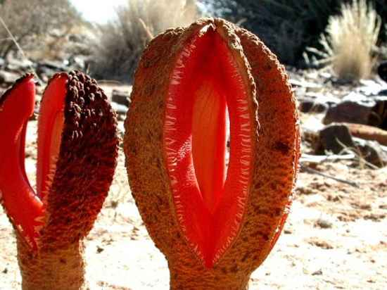 Hydnora-Africana