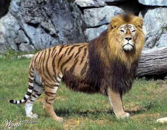 Liger
