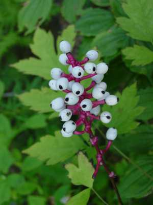 Actaea Pachypoda Older Seed Pods
