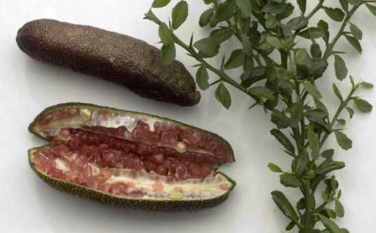 Citrus-Australasica-Large
