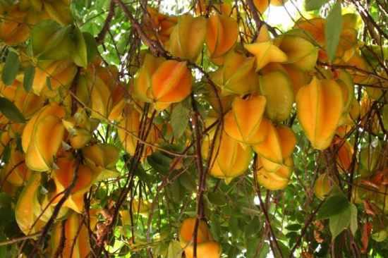 Karambol-Sternfrucht Averrhoa-Carambola-8 ~ Max600X450 @ 75