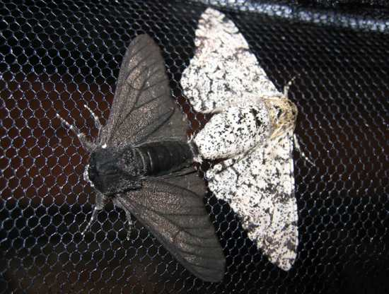 Peppered-Moth-Evolution-Science