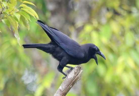 Corvus Unicolor